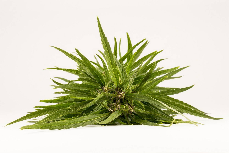 Marihuana lecznicza - jak zdobyć?